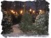 kerstbomen1